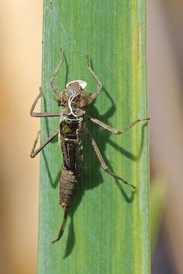 Frühe Adonislibelle (Pyrrhosoma nymphula - Exuvie Bild 008 Foto: Regine Schulz