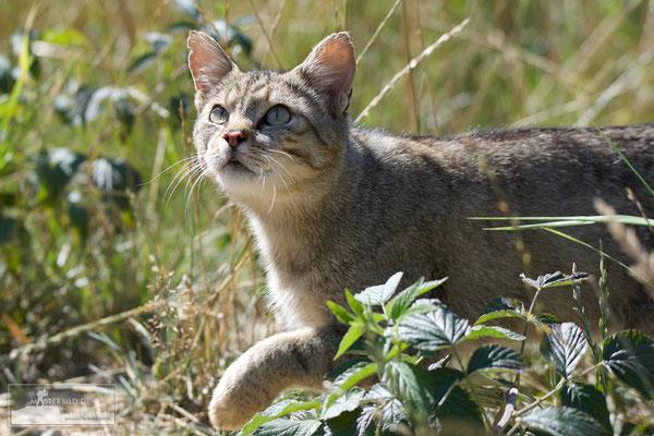 Wildkatze (Felis silvestris) Bild 004 - Foto: Uwe Bärecke