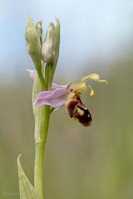 Bienen-Ragwurz (Ophrys apifera) - Bild 007 - Foto: Regine Schadach - Olympus OM-D E-M1 Mark II - M.ZUIKO DIGITAL ED 60mm 1:2.8 Macro
