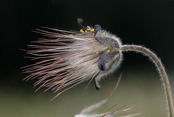 Dunkle Wiesen-Kuhschelle (Pulsatilla pratensis subsp. nigricans) fruchtend Bild 004 Foto: Regine Schadach