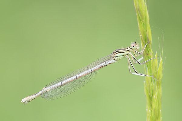 """Gemeine Federlibelle (Platycnemis pennipes)  Weibchen - auch """"Blaue Federlibelle"""" Bild 020 Foto: Regine Schulz"""