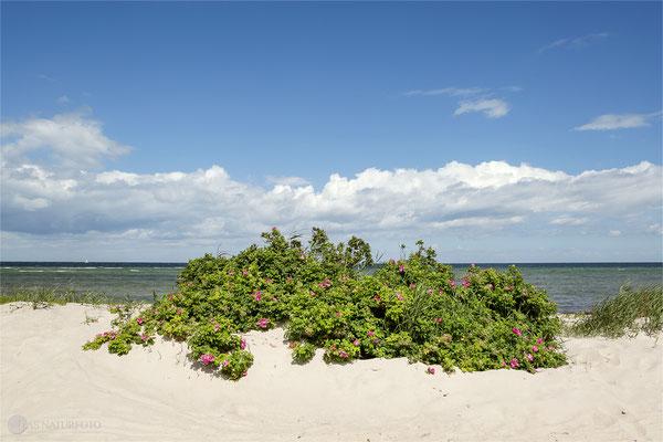 Insel Poel - Kartoffel-Rosen (Rosa rugosa) für den Küstenschutz Foto Regine Schadach Canon EOS 5D Mark III Canon EF 4,0/24-70 L IS USM Canon EF