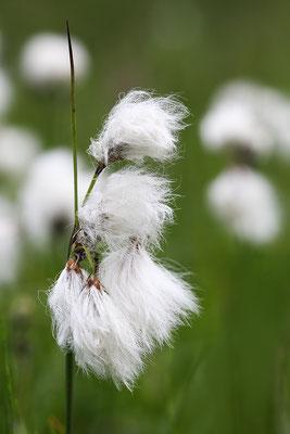 Schmalblättriges Wollgras (Eriophorum angustifolium) - Bild 005 - Foto: Regine Schulz