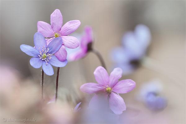 Leberblümchen (Hepatica nobilis)  Bild 014 Foto: Regine Schulz - Olympus OM-D E-M5 Mark II - M.ZUIKO DIGITAL ED 40‑150mm 1:2.8 PRO
