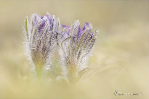 Gewöhnliche Kuhschelle (Pulsatilla vulgaris)  Bild 031 Foto: Regine Schadach - Canon EOS 5D Mark III Sigma 150mm f/2.8 Macro