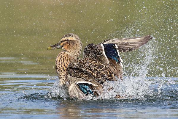 Stockente (Anas platyrhynchos) - Weibchen Bild 007 Foto: Regine Schulz
