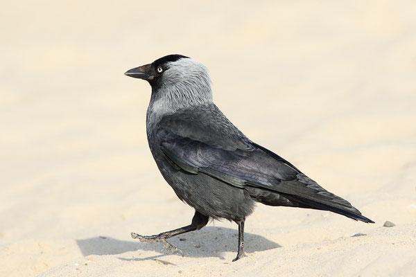 Dohle (Corvus monedula) Bild 001 Foto: Regine Schadach