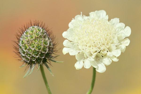 Gelbe Skabiose (Scabiosa ochroleuca) und Fruchtstand Bild 001 Foto: Regine Schulz