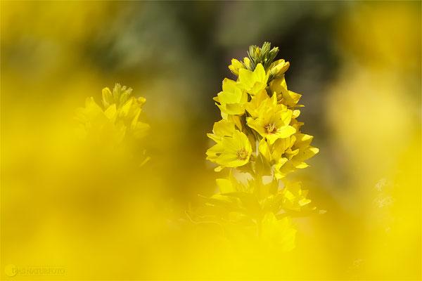 Gewöhnlicher Gilbweiderich (Lysimachia vulgaris) Bild 002 Foto: Regine Schadach - Canon EOS 5D Mark III Sigma 150mm f/2.8 Macro