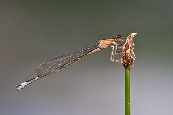 Große Pechlibelle (Ischnura elegans f.infuscans) Bild 010 Foto: Regine Schulz