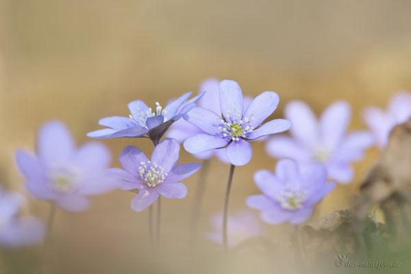 Leberblümchen (Hepatica nobilis) Bild 011 Foto: Regine Schadach