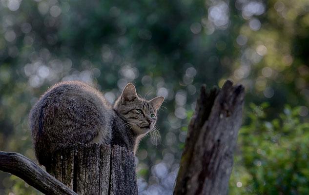 Wildkatze im Biotop-Tierpark Anholter Schweiz