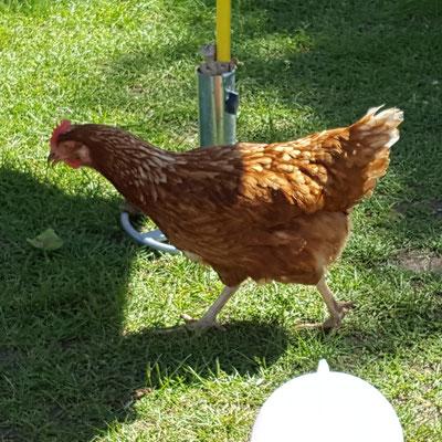 Die Hühner im Kindergarten von rent-a-huhn
