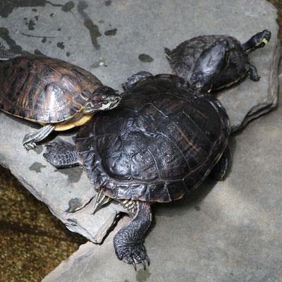 Schildkröten im Market Dome im Centerparc Erperheide