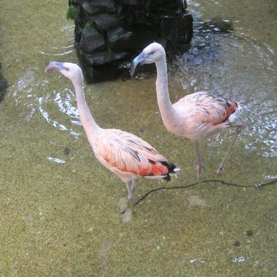 Flamingos im Market Dome im Centerparc Erperheide