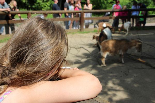 Unsere Kleine betrachtet die Ziegen im Zoo Frankfurt