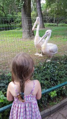 Unsere Kleine betrachtet die Pelikane im Zoo Frankfurt