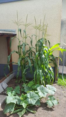 Mais und Gurke im Gemüsegarten