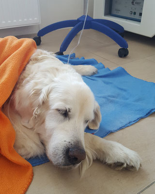 Unser Golden Retriever-Rüde beim Aufwachen nach einer OP