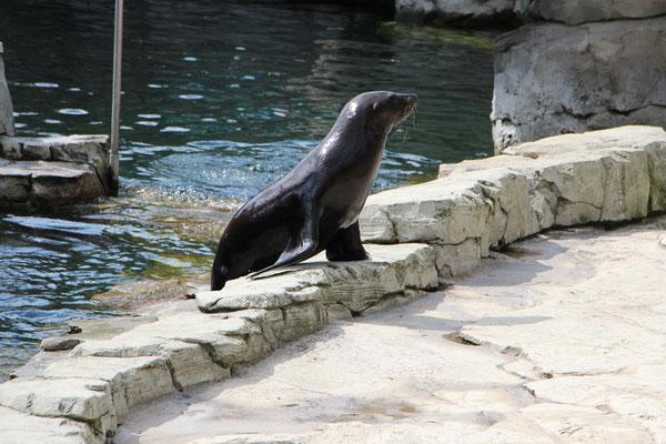Ein Seelöwe im Zoo Frankfurt