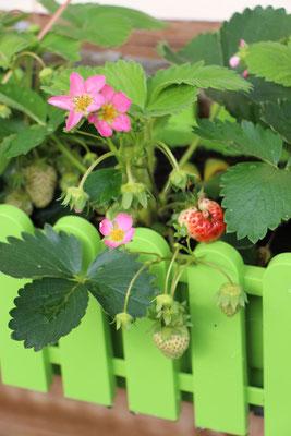 Erdbeerpflanzen im Topf mit rosa Blüten