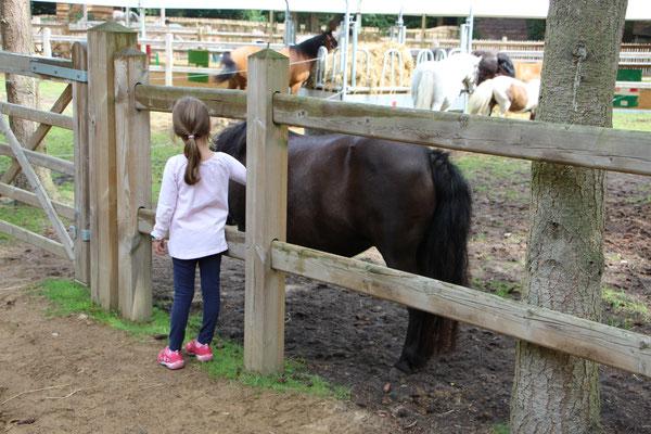 Die Ponys während ihrer Mittagspause auf der Weide: unsere Kleine schaut nach unserer Nina