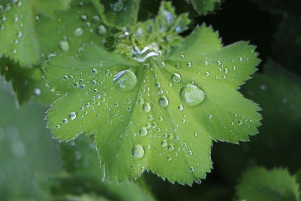 Frauenmantelblatt mit Regentropfen
