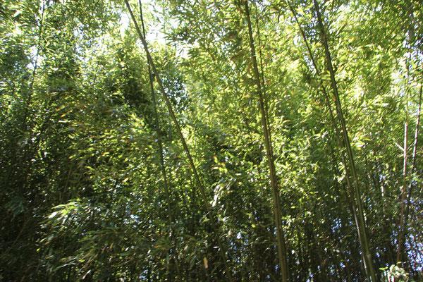 Bambus im Palmengarten Frankfurt