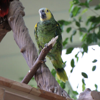 Ein Papagei im Market Dome im Centerparc Erperheide