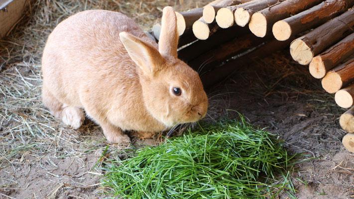 Unser Hase Paula beim Grasfressen