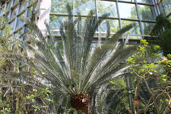 Eine Palme im Tropicarium im Palmengarten Frankfurt