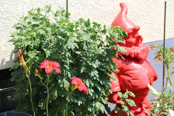 Unser roter Gartenzwerg mit Chrysanthme und Lilie
