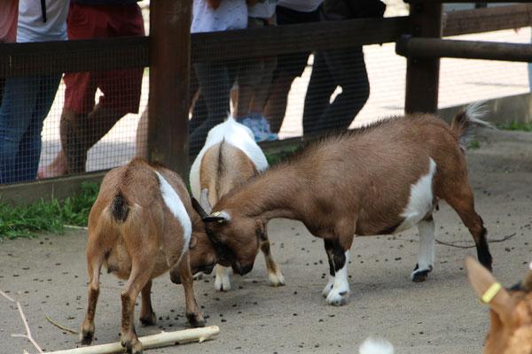 Kämpfende Ziegenböcke im Zoo Frankfurt
