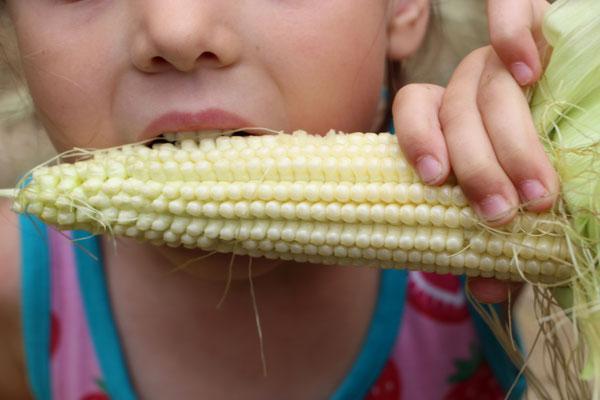 Unsere Kleine beist ein einen Mais im Maislabyrinth auf dem Erdbeerhof Münch in Groß-Umstadt