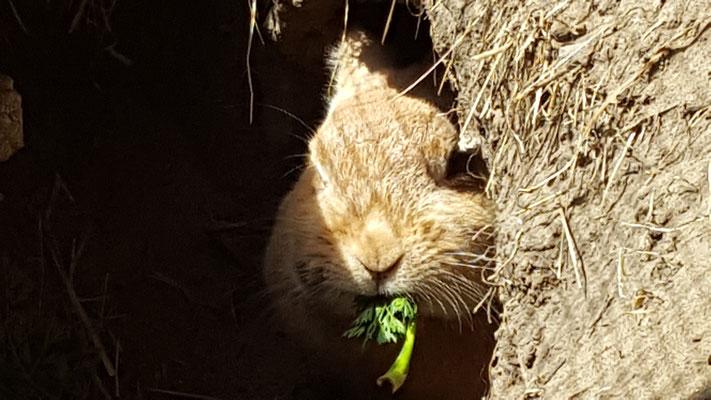 Kaninchen Paula schaut aus einer Höhle  in ihrem selbstgebauten Stall