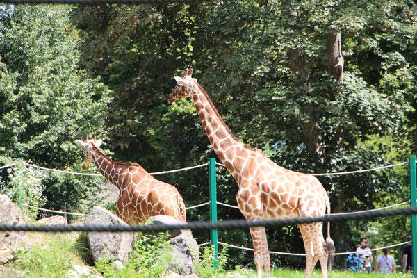 Die Giraffen im Zoo Frankfurt