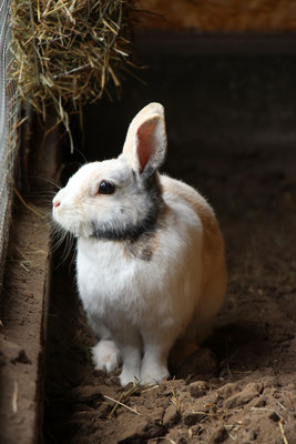 Unser Kaninchen Max schaut aus dem Stall