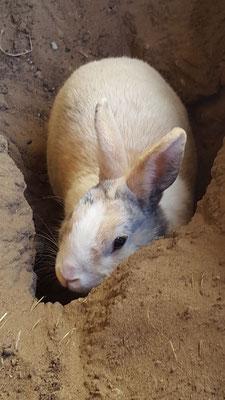 Unser Kaninchen Max verschwindet in eine der Kaninchenhöhle