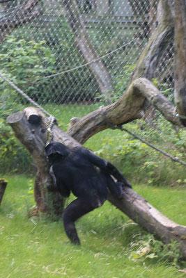 Das Menschenaffenhaus im Frankfurter Zoo