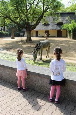 Unsere Mädels beobachten die Zebras im Frankfurter Zoo