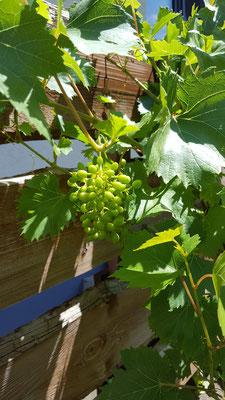 Trauben an unserer Weinrebe