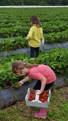 Unsere Mädels beim Erdbeersammeln auf dem Erdbeerfeld