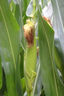 Mais im Maislabyrinth auf dem Erdbeerhof Münch in Groß-Umstadt