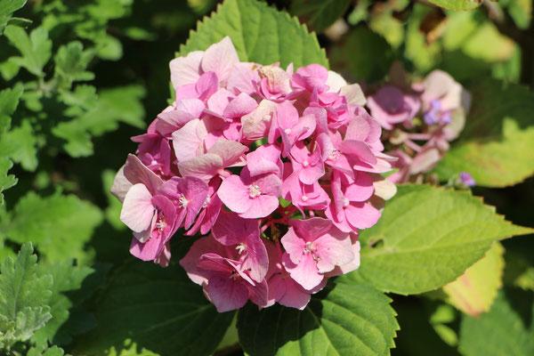 Hortensien-Blüte