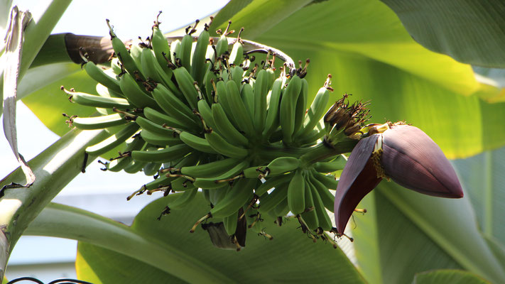 Bananen im Tropicarium im Palmengarten Frankfurt