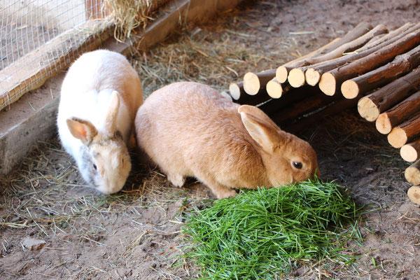 Unsere Hasen Max und Paula beim Grasfressen