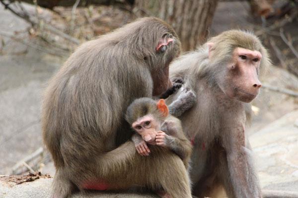Affen mit Kind im Frankfurter Zoo