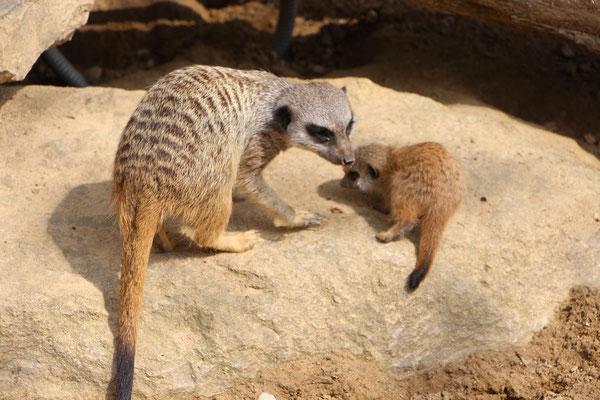 Erdmännchen mit Kind im Frankfurter Zoo