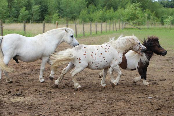 Ponys jagen sich auf der Weide im Centerparc Erperheide