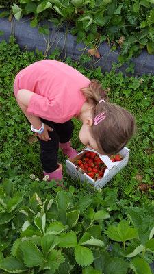 Die Kleine beim Erdbeersammeln auf dem Erdbeerfeld